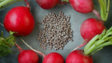 Photo of الفوائد التي قد لا تعرفها عن بذور الفجل